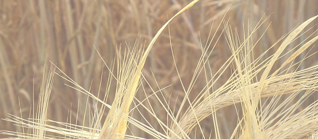 wheattrans2 newsletterspage